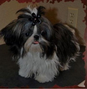 Shih Tzu Father With Black and White Coloring