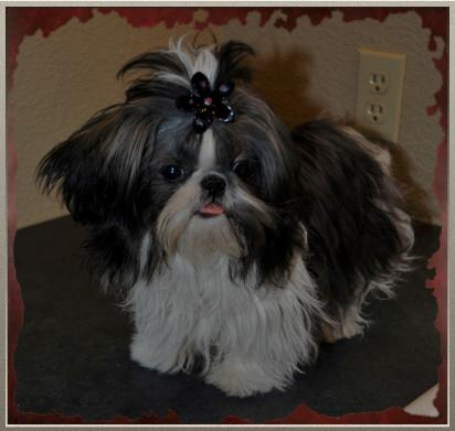 teacup shih tzu adults akc registered male chinese imperial and teacup shih tzu s 2511