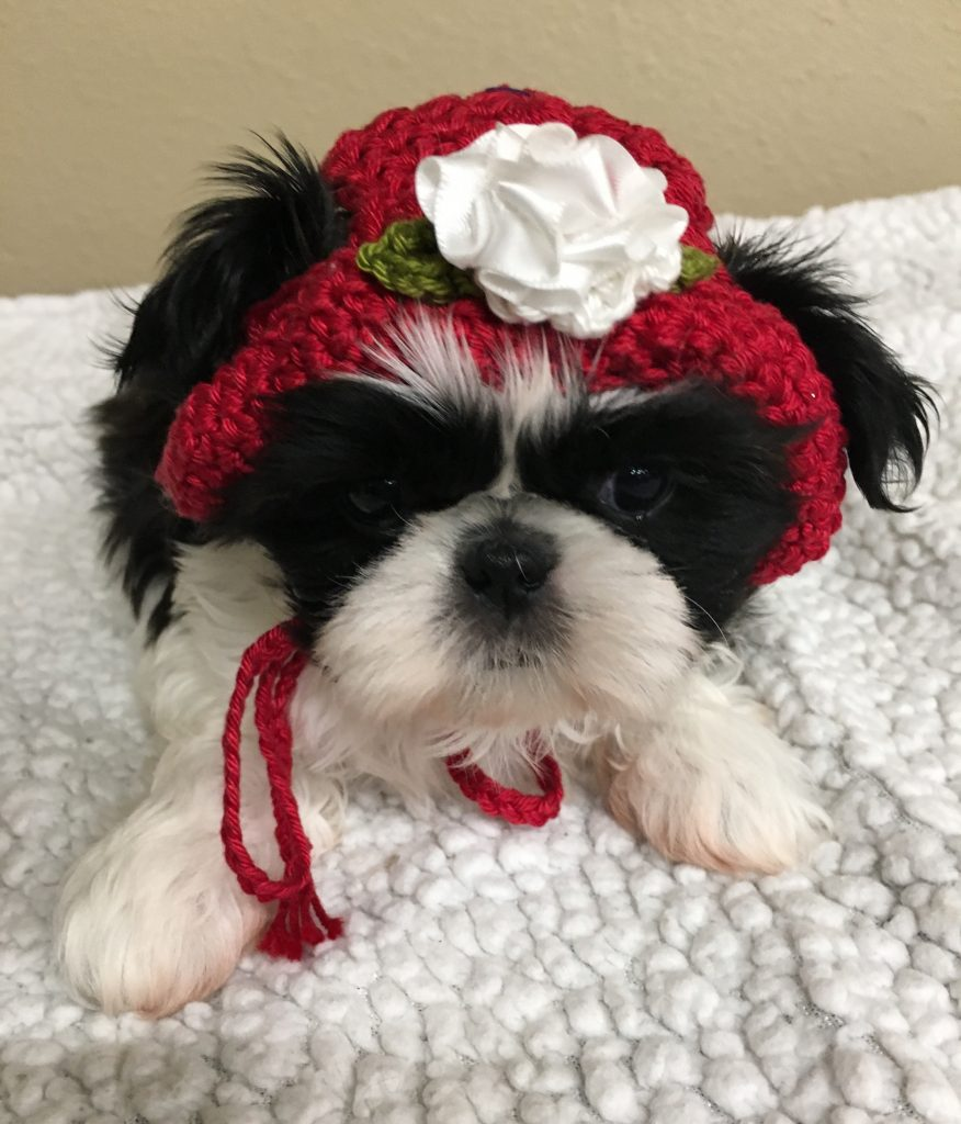Shih Tzu With Black and White Coloring